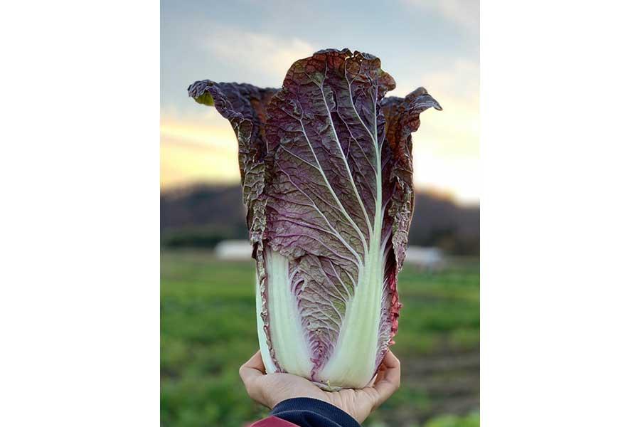 これなんだ? 今の食卓に欠かせない白菜は紫色の種類もある【写真:鈴木智哉】
