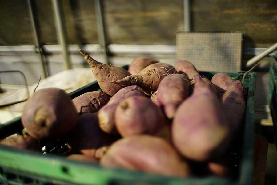 秋に収穫したサツマイモがおいしくなるのが今の時期【写真:鈴木智哉】