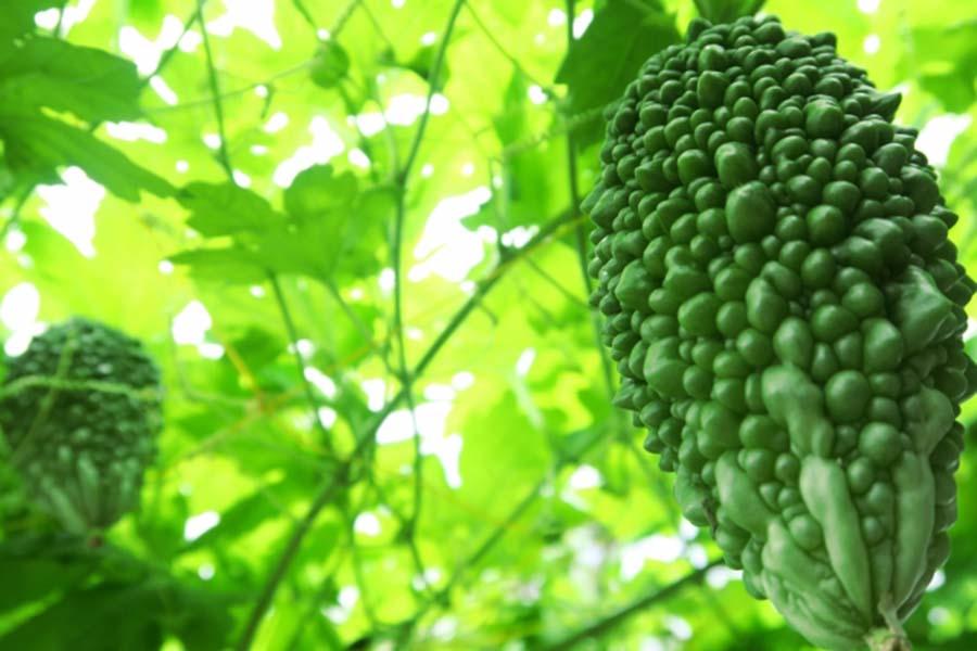 食べられる緑のカーテン(写真はイメージです)【写真:写真AC】