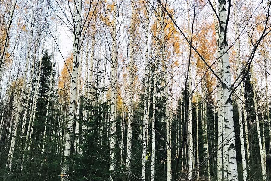 フィンランドのシンボルともいえる白樺の森【写真提供:minori】