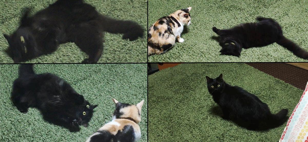 黒猫のスミちゃん【写真提供: サユヤス(@SHAKEhizi_BSK)さん】