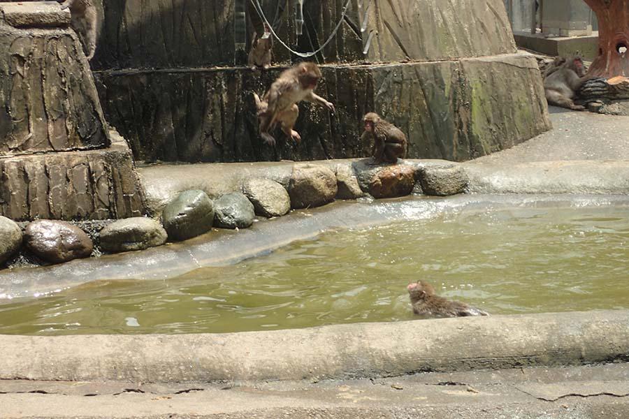 ニホンザルが池にダイブする瞬間【写真提供:多摩動物公園】