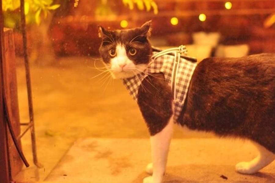 いきなり反則級のかわいさ。看板ねこの「キャスパー」。チェックのハーネスがキュートな顔立ちにぴったり【写真:猫ねこ部】