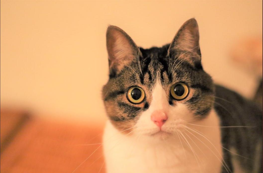 おすましするピーチちゃん。まん丸のおめめがかわいすぎる!【写真提供:無重力猫ミルコのお家(@ccchisa76)さん】