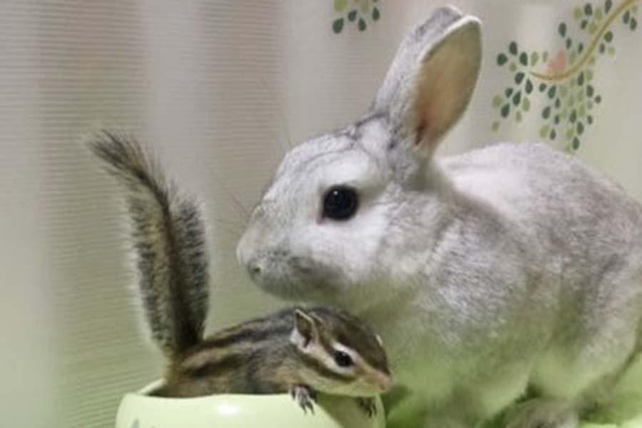 ミニウサギ「しらたま」くんとシマリス「すず」ちゃん【写真提供: しらたま&すずはツンデレラ(@shiratama_suzu)さん】