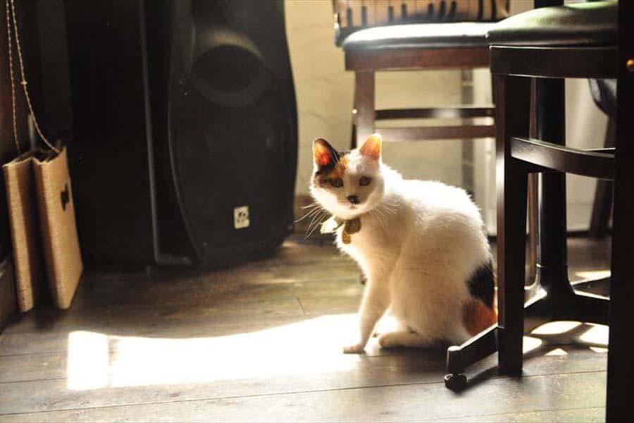 カフェモフリー」の看板ねこ「なつ先生」。店内にて【写真:猫ねこ部】