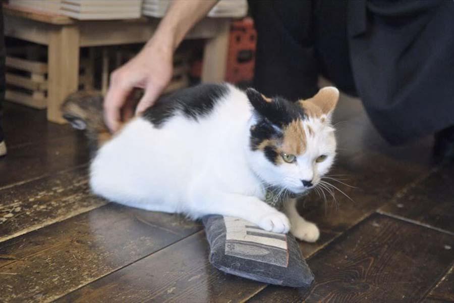 「カフェモフリー」の看板ねこ「なつ先生」。店内にて【写真:猫ねこ部】