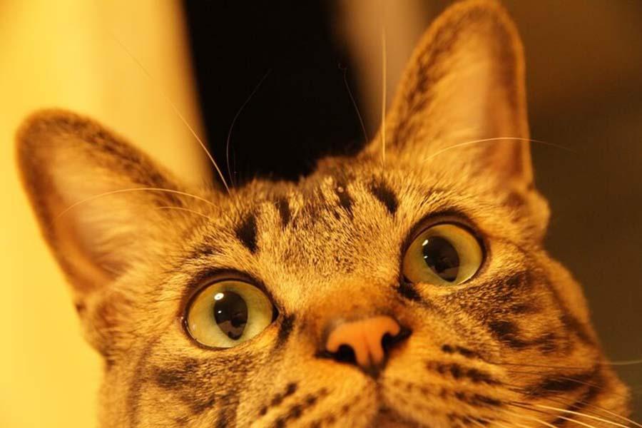 処分寸前だったという「セブン」くん。大きなおめめがチャームポイント【写真:猫ねこ部】
