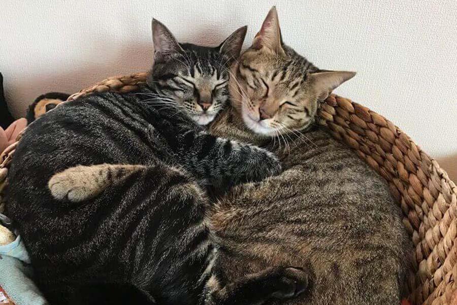 かごの中で頬を寄せ合うふたり。その仲良しっぷりに思わず笑みが。キジトラMIX兄妹ねこの「虎」くん(左)と「まる」ちゃん(右)【写真:猫ねこ部】