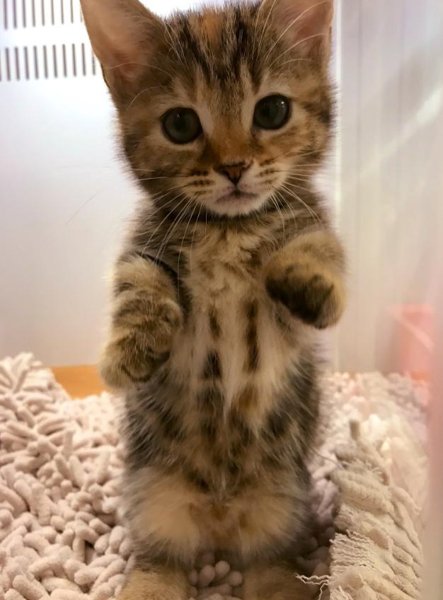 生後4か月のマンチカン「ラテ」ちゃん【写真提供:短足猫との日常(@ratesan9_29)さん】