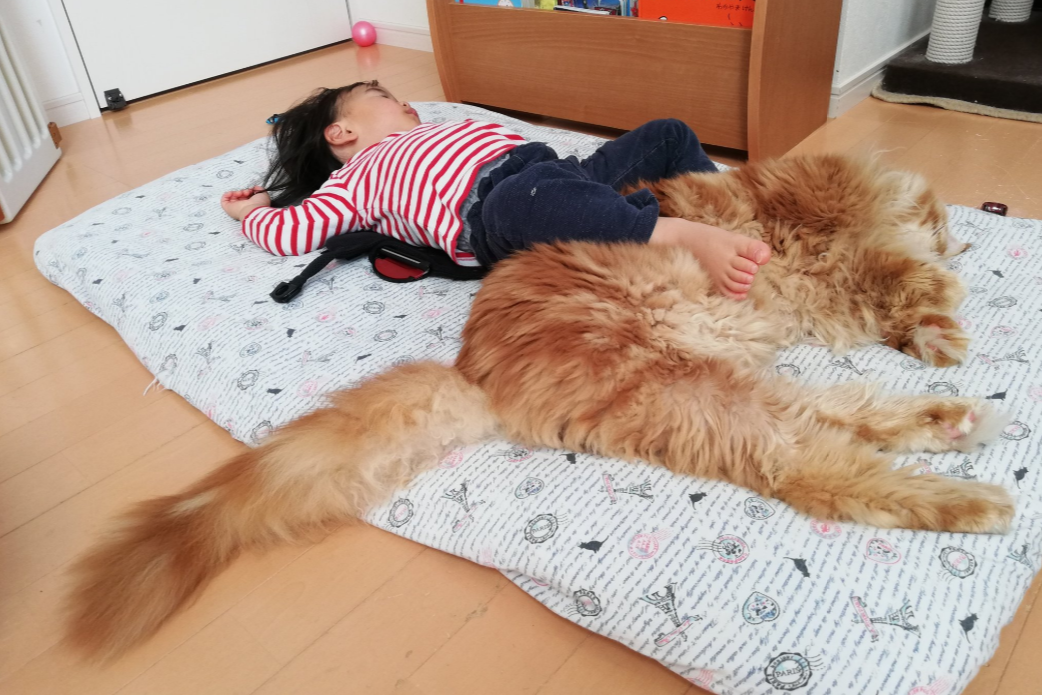 添い寝をするメインクーンの「ライ」くん【写真:やしゅう(@FakeYashu)さん】
