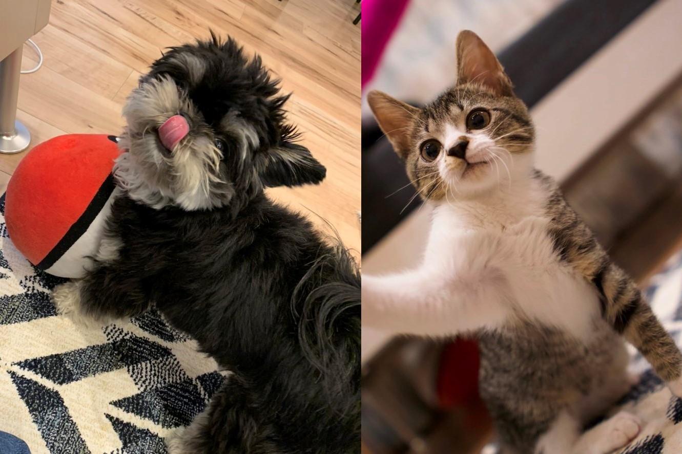 (左)1歳8か月のチワワとシーズーのミックス犬「アレサ」ちゃん、(右)保護ねこ、生後4か月の「マーロン」くん【写真提供:すみ / kunugi(@masumishinjo88)さん】