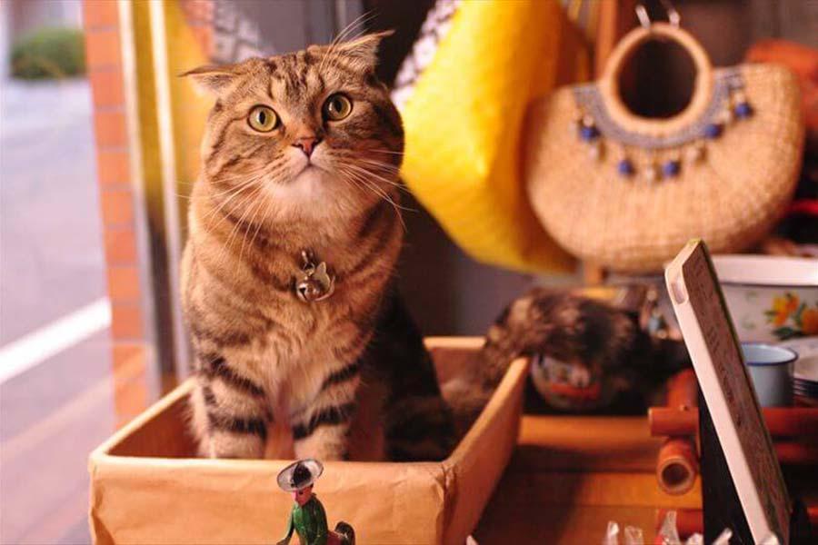 雑貨店「庫-kho-」の看板ねこ「のぶにゃが」くん【写真:猫ねこ部】