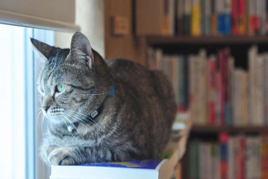 店員猫一番のやんちゃ姫、読太(よんた)※一瞬名前に戸惑うけど女子【写真:猫ねこ部】