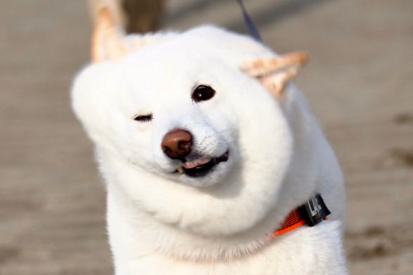 4歳の白柴「ラッテ」くん【写真提供:柴犬ラッテ(@Latte_Shibainu)くん】