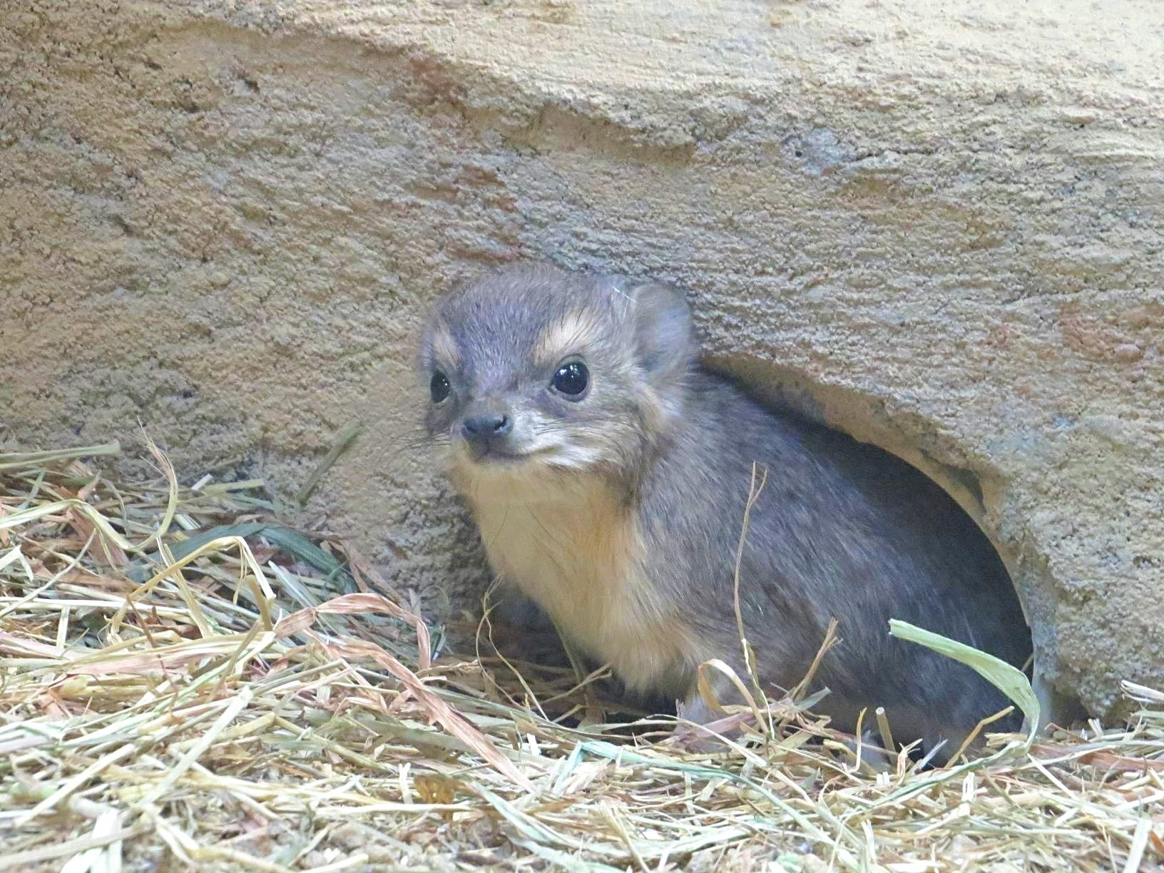 国内で初めて繁殖に成功した「キボシイワハイラックス」の赤ちゃん【写真提供:埼玉県こども動物自然公園】