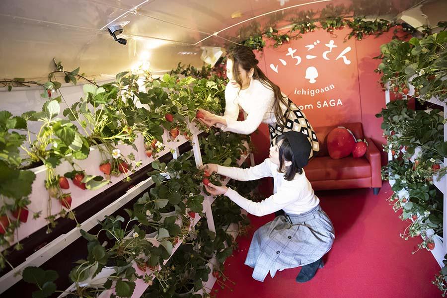 「いちごさんバス」1階で楽しめるいちご狩り。摘みたてのみずみずしさをその場で体験!【写真:「いちごさん」PR事務局】