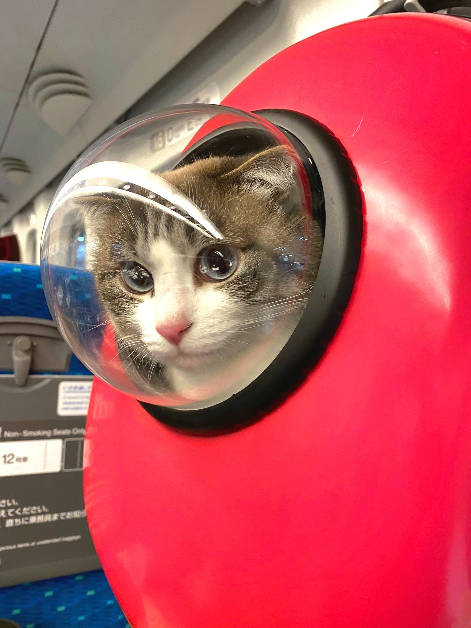"""""""ねこかぶり""""中の「わさび」ちゃん。ペットリュックの小窓から「見知らぬ人」にアイコンタクト【写真提供:猫のわさび(@wasabi_1212)さん】"""