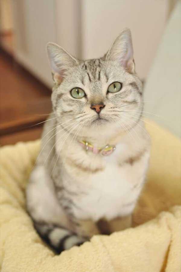 お気に入りの空き箱に収まったセイラちゃん【写真:猫ねこ部】