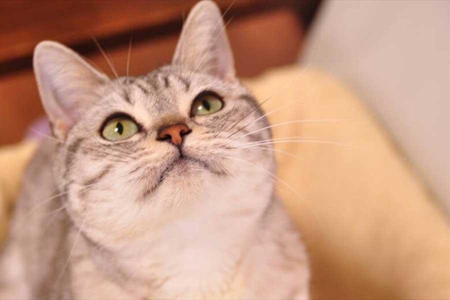 プライベートエステサロン「Total Beauty Salon Belleza(ベレッサ)」の看板ねこ「セイラ」ちゃん【写真:猫ねこ部】