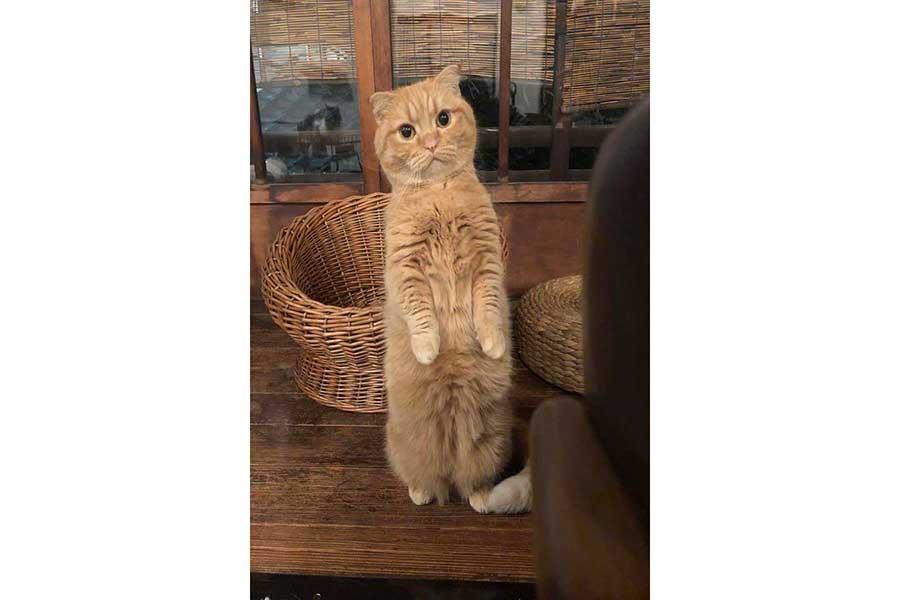 ひょこっと立ち上がるウニちゃん。立つのもウニちゃんの得意技だそう【写真提供:キャットアパートメントコーヒー@猫カフェ休業中(@CatApartment)さん】