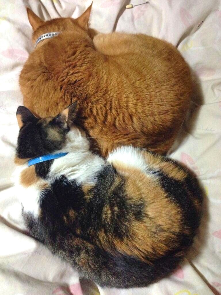 大人になってからはこうして時々寄り添いあって眠る2匹