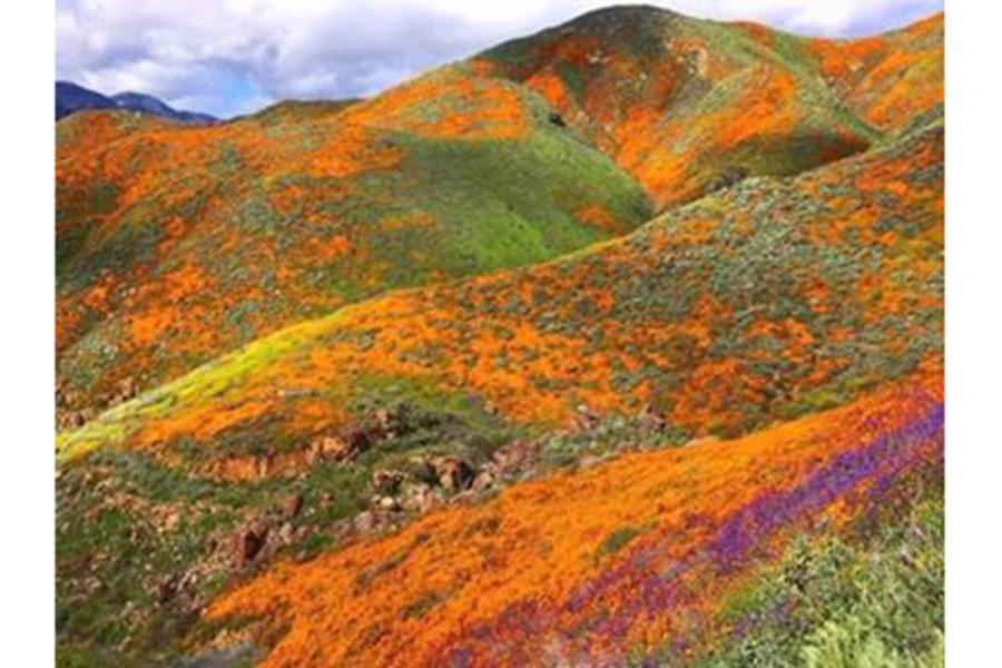 カリフォルニアポピーの鮮やかなオレンジが山を染め上げる【写真提供:小田島勢子】