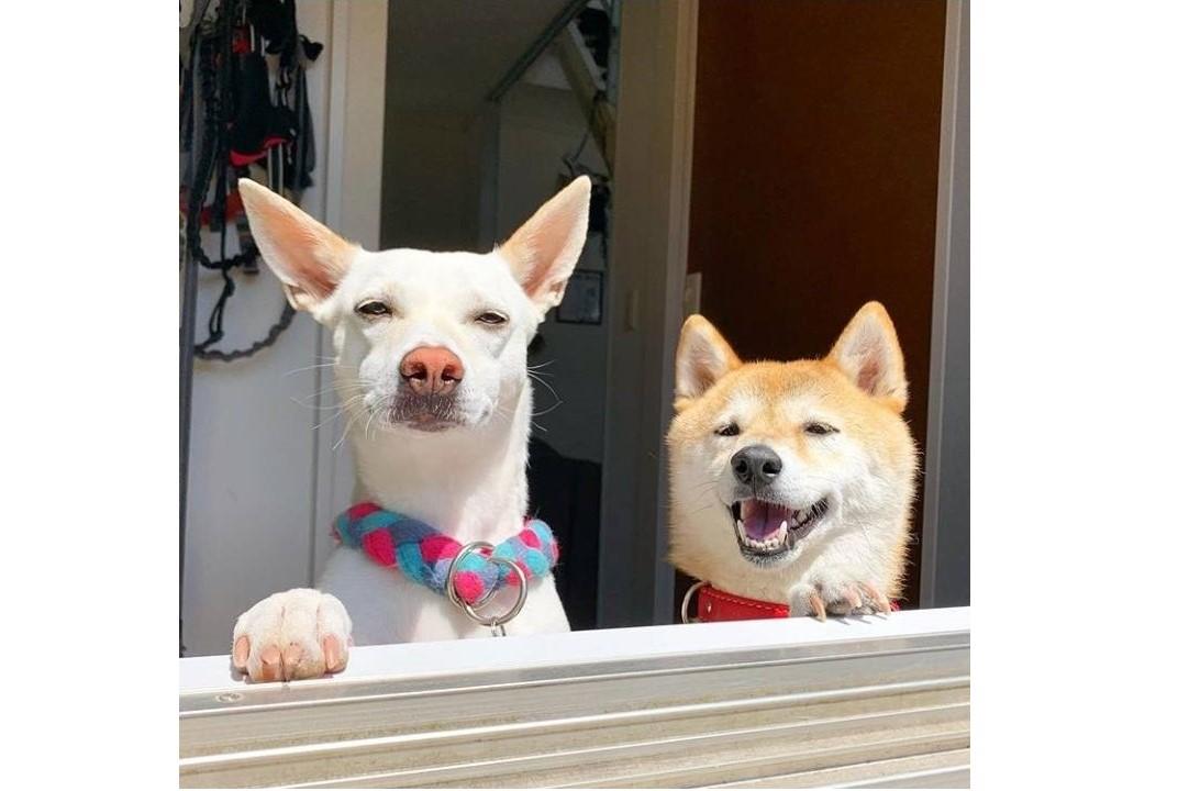 左が元保護犬の「すず」ちゃん、右が柴犬の「ハル」ちゃん【写真提供:柴犬ハル&雑種すず(haruharu040777)さん】
