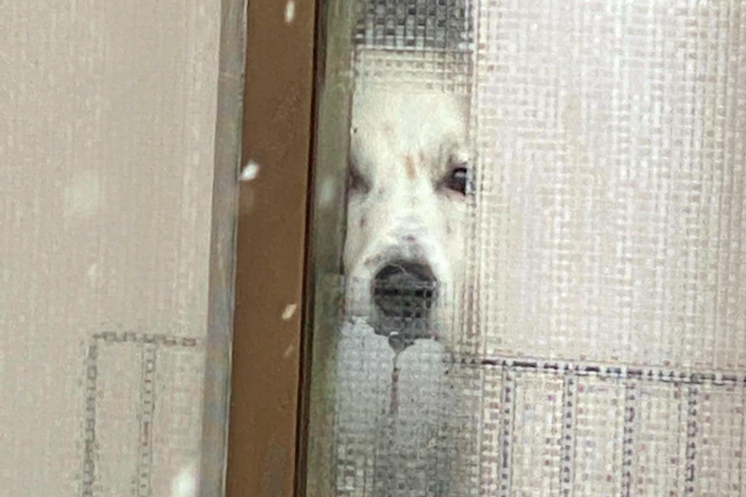 目力が強い元保護犬の「犬次郎(仮)」くん【写真提供:力工ルちゃん犬を飼う(@kaeruinukau)さん】