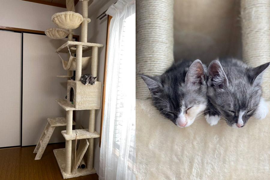 キャットタワーで眠る2匹の様子 「アワ」ちゃん(左)と「ハク」くん【写真提供:伊豆見(@izmizum)さん】