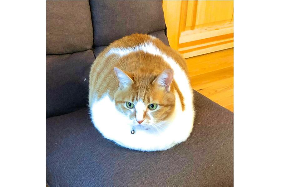 騒然となった「ちゃーこ」ちゃんがまん丸の写真【写真提供:たぬKIKI(@tanutanu_cat)さん】
