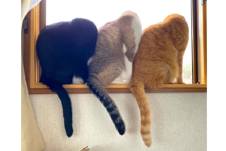 """窓の外を""""ニャ""""らんで見る3匹。左から「教授」くん、「オモチ」くん、「ハルマキ」くん【写真提供:そら(@soramoon22)さん】"""