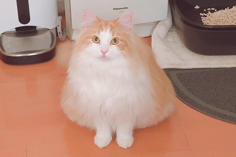 """""""焼きおにぎり""""のような「フレイ」くん【写真提供:猫のフレイ(@Freykuuun)さん】"""