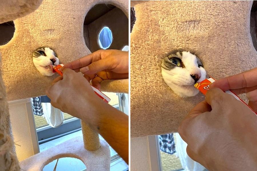 キャットタワーからおやつを食べる「ぴすけ」くん【写真提供:るう&ぴすけ(@ruttanrururu319)さん】