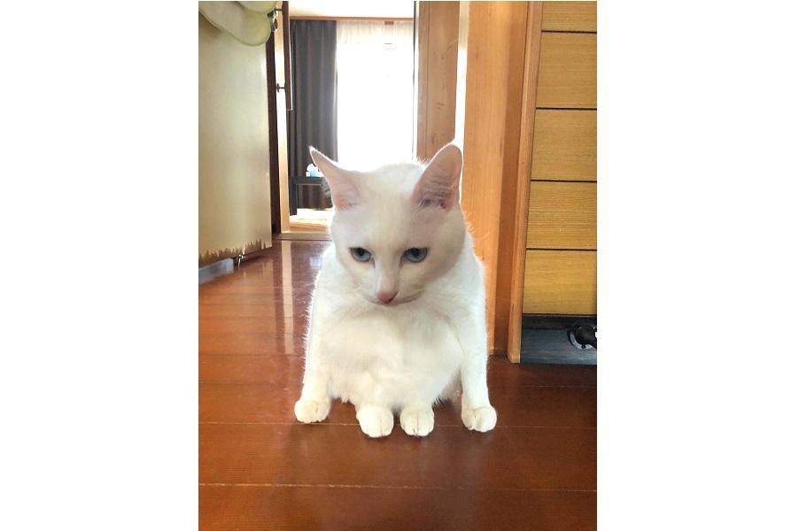 合成のような座り方が話題になった「あみ」ちゃん【写真提供:さんねこチャンネル Three cats channel(@Threecatschann1)さん】