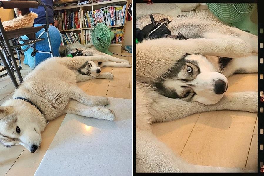 「ロキ」くんの脚の間に挟まる「ラリマー」くん【写真提供:Rie&RokiRari☆(@pochi1980husky)さん】