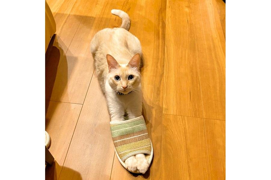 """""""猫ミサイル""""化した「ミレット」くん【写真提供:ふくてん@猫垢(@zEChPHPqG2t32nT)さん】"""