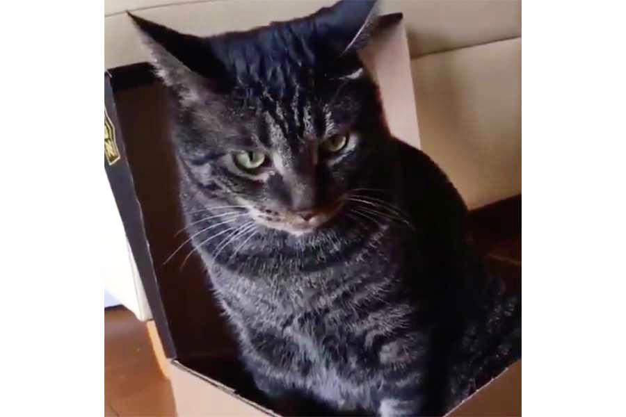 動画のワンシーン。箱の中に入るのが好きな「トン」くん【写真提供:T A K T(@38Zac0eBxa47EAV)さん】