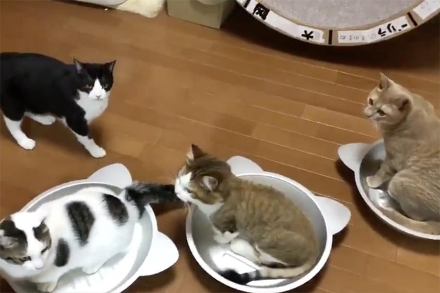 動画のワンシーン。(右から)ねこ鍋に入る「ひのき」ちゃん、「秀吉」くん、「豆大福」くん。見つめる「ひまわり」ちゃん【画像提供:ひのき猫(@nekohinoki)さん】