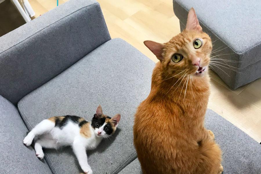 目で訴える「はれ」くんの横でくつろぐ「あめ」ちゃん【写真提供:猫は裏切らない(@harehareneko)さん】