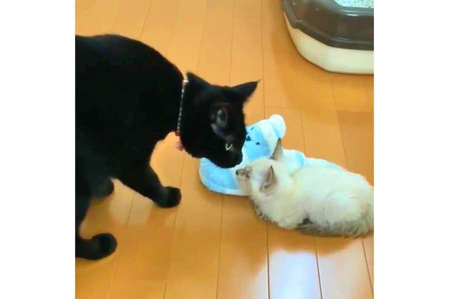 じっと見つめ合う「ミナ」ちゃんと「シロ」くん【画像提供:黒猫のミナ(@Krnk_Mn)さん】