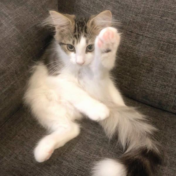 挙手をしているような姿の「シィク」くん【写真提供:シィク君/猫アカ(@sheik_norwegian)さん】