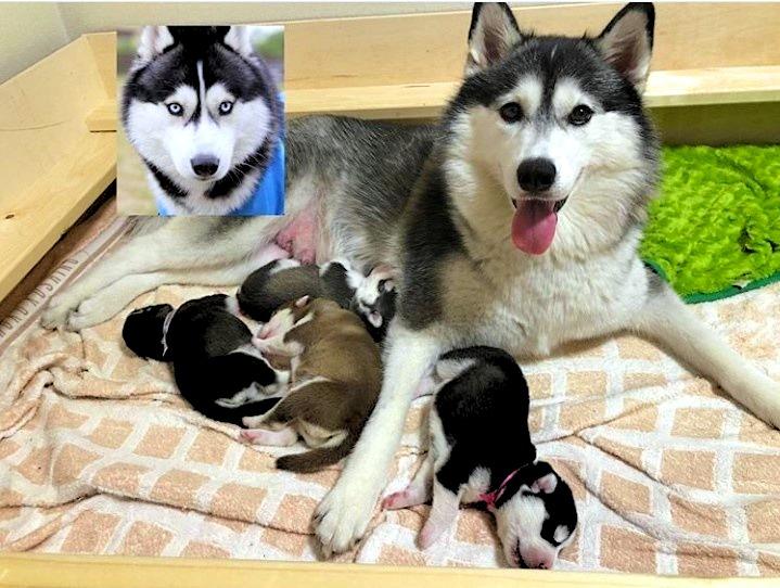 ママ「アイビー」ちゃんとパパ「ゴースト」くん。そして生まれて間もない頃の4匹【写真提供:Yukina.R(ru515cy_ivy)さん】