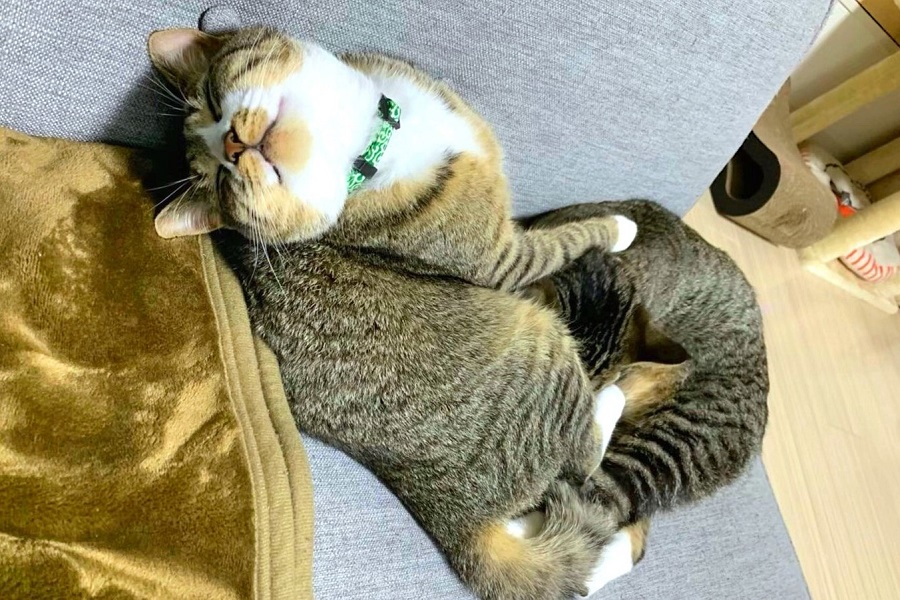 臆病だけど豪快な寝相が話題の「ちゃむのすけ」くん【写真提供:ねこまるすいさん(@nekomarusuisan7)さん】