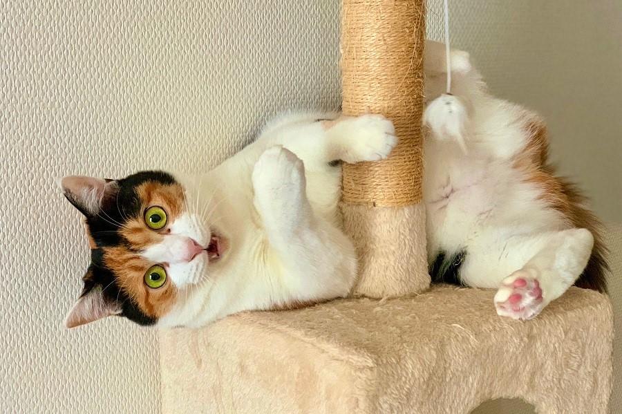 2歳の「楽」ちゃん。キャットタワーにお腹がつっかえてびっくり!【写真提供:チェロキー(@cherokee386)さん】