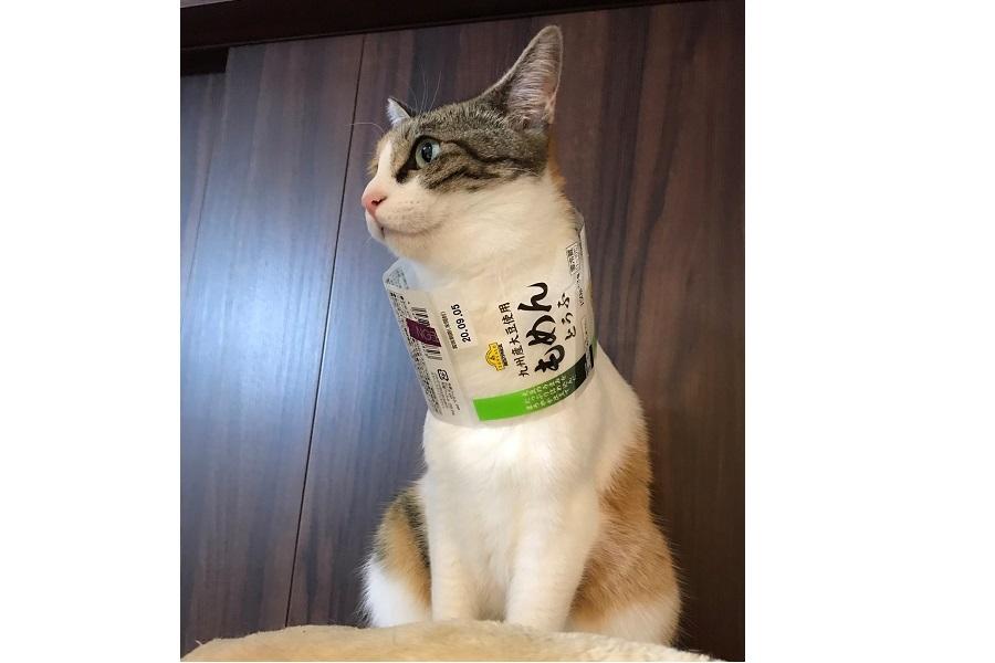 豆腐の帯を着けている「ルナ」ちゃん【写真提供:亜希斗(@akitoship2)さん】