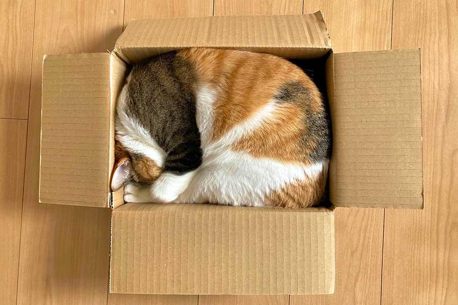 段ボール箱にぴったりと収まる「ぼな」ちゃん【写真提供:さぱたー(@albm32)さん】