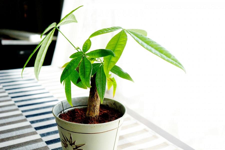 パキラの鉢植え【写真:写真AC】