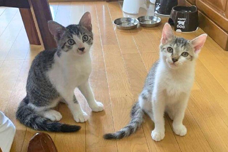 那須の長楽寺の新入りねこ2匹。右が「こーちゃん」、左が「たーくん」【写真提供:那須の長楽寺】