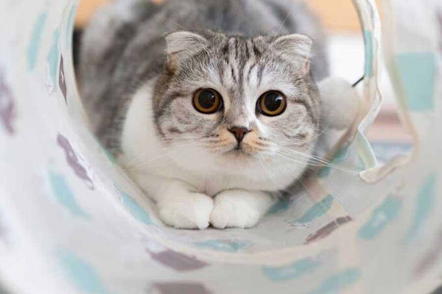 飼い主をいつも見つめているぐうちゃん【写真提供:猫のぐう スコティッシュフォールド(@cat_gooch)さん】